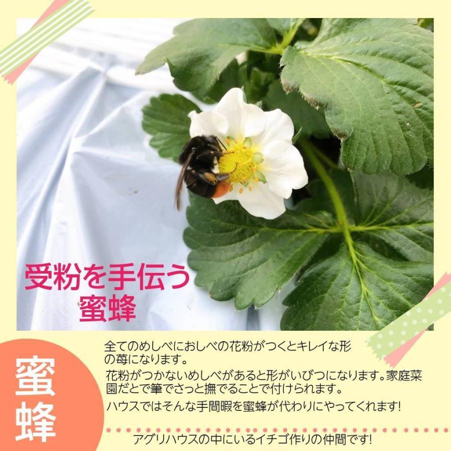 【アグリハウス秋山】福島いちご 須賀川産 とちおとめ苺 270g×4パック  sweetjuicyparadise 06