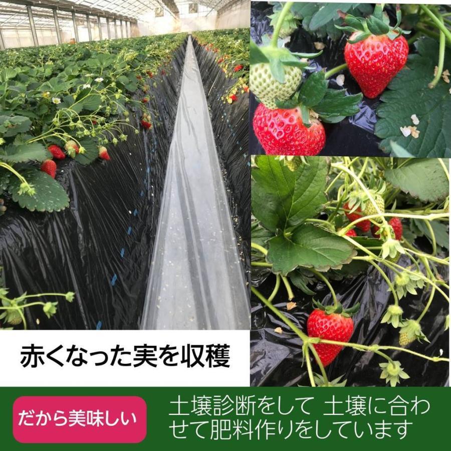 【アリガ農園】 福島いちご 須賀川市産 270g×4パック|sweetjuicyparadise|06