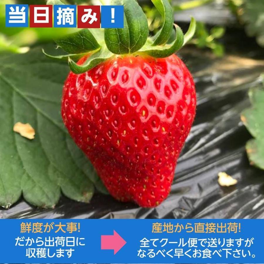 【アリガ農園】福島いちご 須賀川産 とちおとめ苺 300gサイズ大2パック 中2パック|sweetjuicyparadise|12