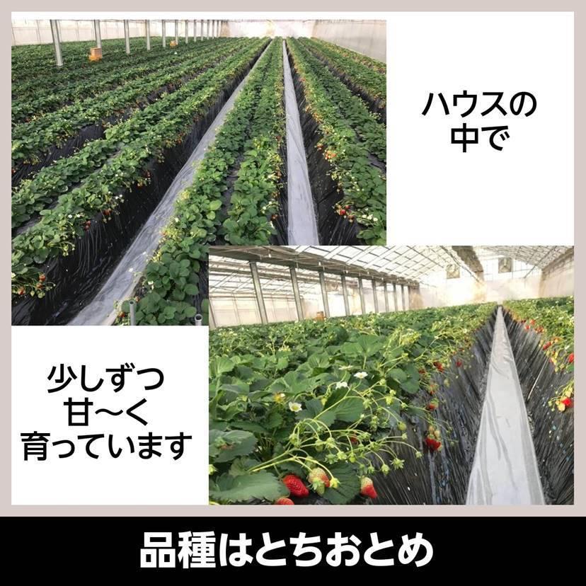 【アリガ農園】福島いちご 須賀川産 とちおとめ苺 300gサイズ大2パック 中2パック|sweetjuicyparadise|05