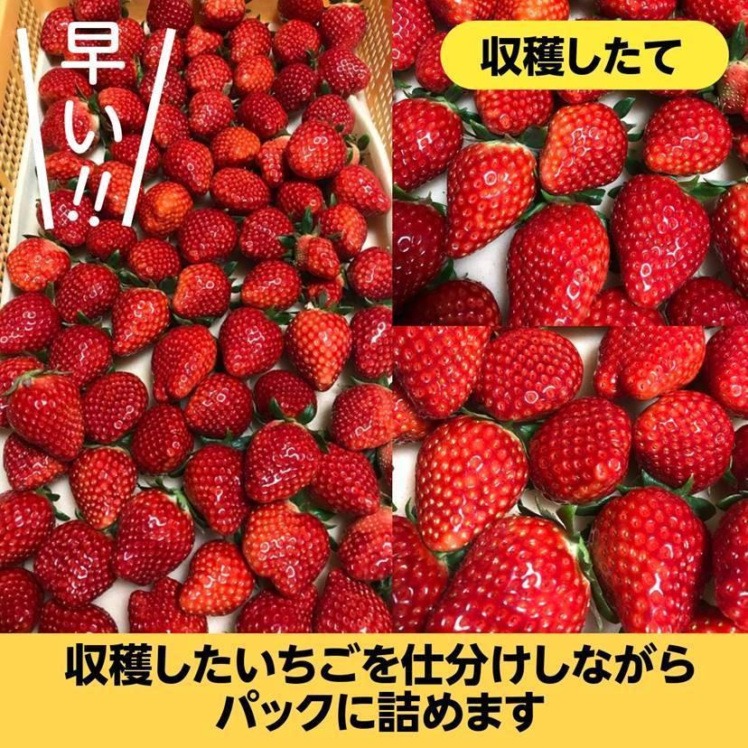 【アリガ農園】福島いちご 須賀川産 とちおとめ苺 300gサイズ大2パック 中2パック|sweetjuicyparadise|09
