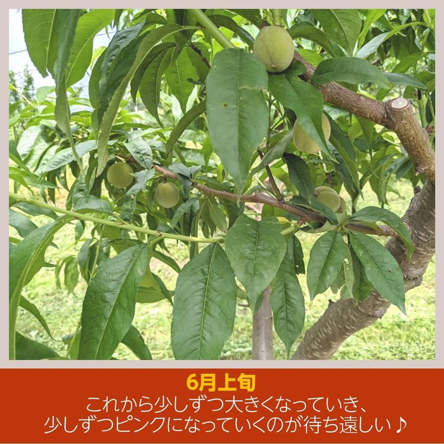 【箭内巌雄果樹園】桃 2kg 品種おまかせ 贈答・ギフトにも sweetjuicyparadise 04