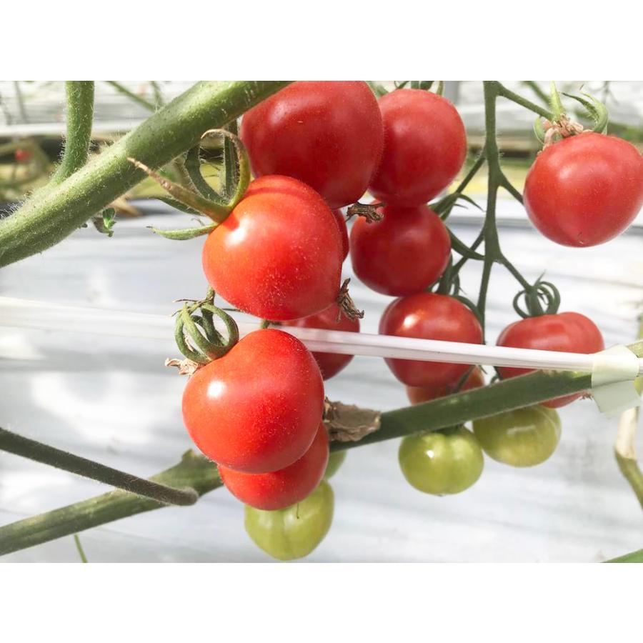 和知ファーム 福島 中玉トマト 1.8kg 白河産|sweetjuicyparadise|11