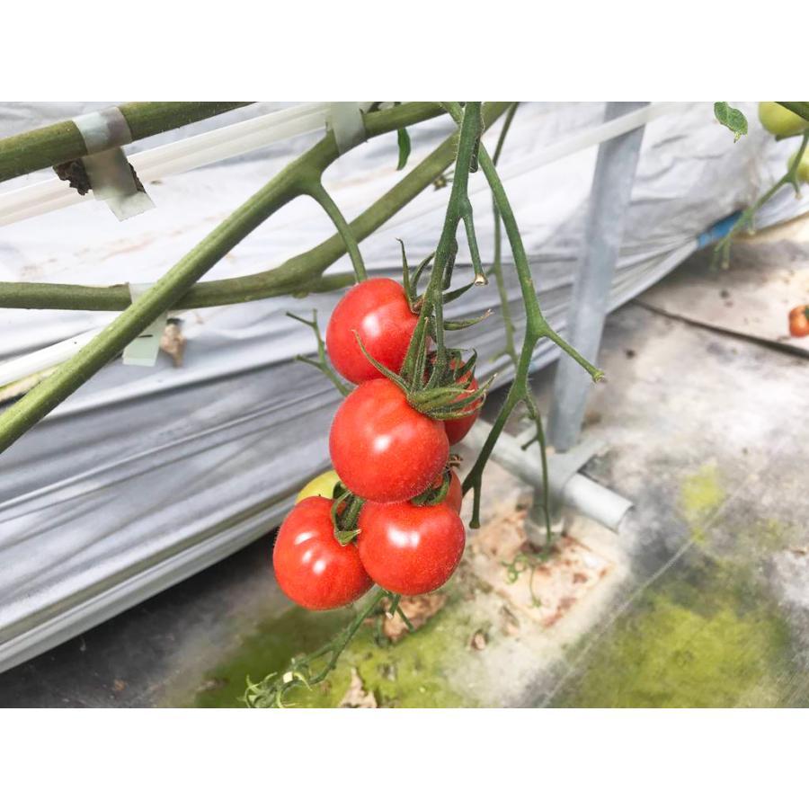 和知ファーム 福島 中玉トマト 1.8kg 白河産|sweetjuicyparadise|12