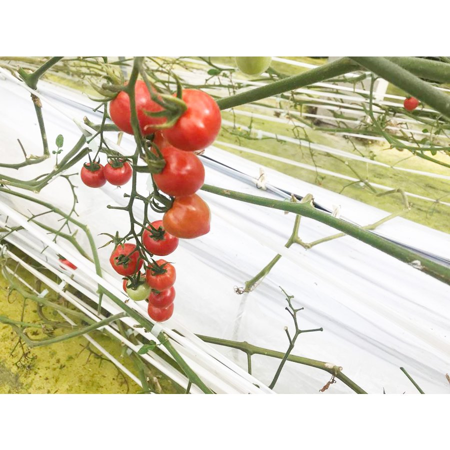 和知ファーム 福島 中玉トマト 1.8kg 白河産|sweetjuicyparadise|07