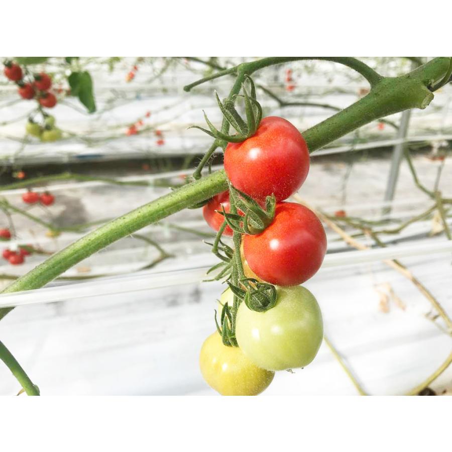 和知ファーム 福島 中玉トマト 1.8kg 白河産|sweetjuicyparadise|10