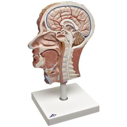 3B Scientific C14 ハーフ Head with Musculature Model, 8.7