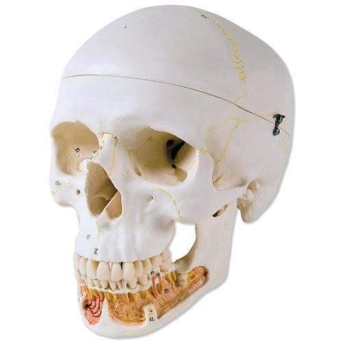 3B Scientific A22 Plastic 3 Part クラシック Human スカル Model with オープン L[海外取寄せ品]