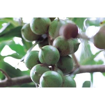 世界美食探究 オーストラリア産 マカダミアナッツ 1kg【素焼き】【無塩、無油】|tabemon-dikara|02