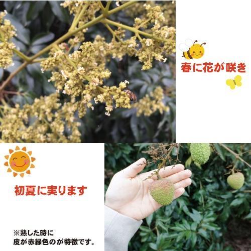 ドラゴンライチ3kg(玉荷包)台湾産 期間限定 taiwanbussankan 06