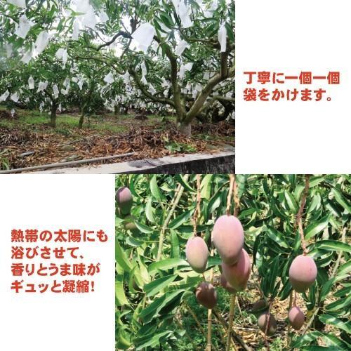 お中元 御中元 ギフト アップルマンゴー2.5kg 台湾産 期間限定 送料無料 taiwanbussankan 06