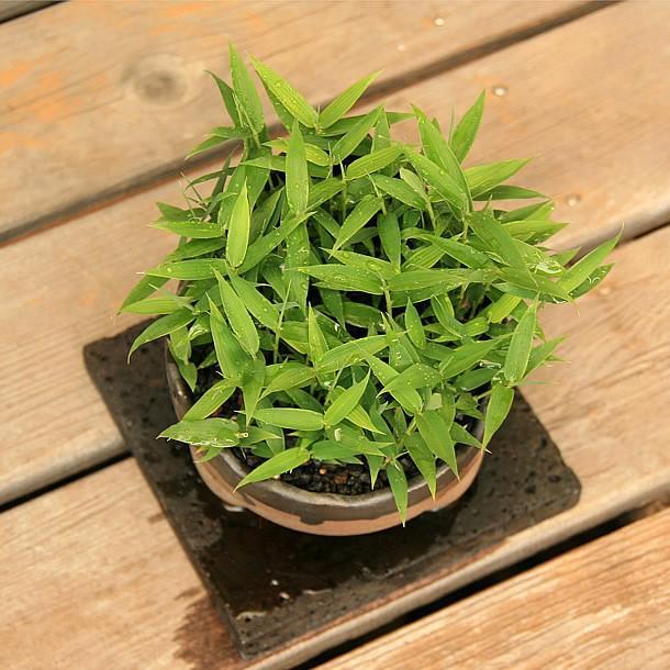 オロシマチク(於呂島竹)5号盆栽2|takechan|04