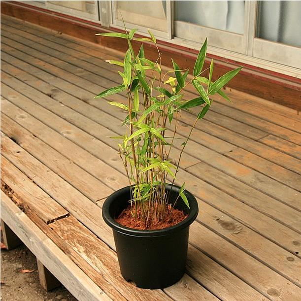 ホウライチク(蓬莱竹)の鉢植え|takechan