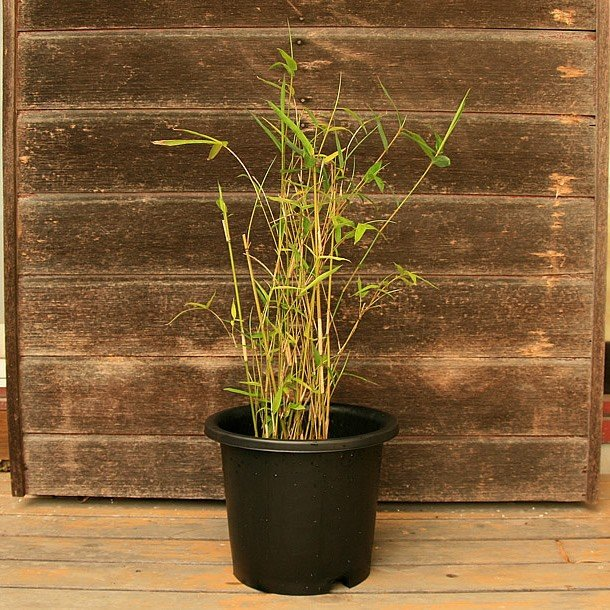 ホウライチク(蓬莱竹)の鉢植え|takechan|03