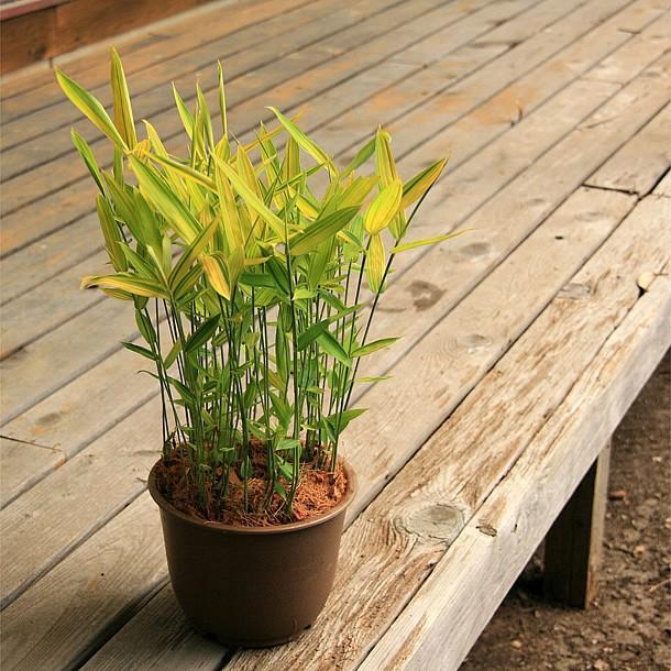 カムロザサ(禿笹)の鉢植え takechan