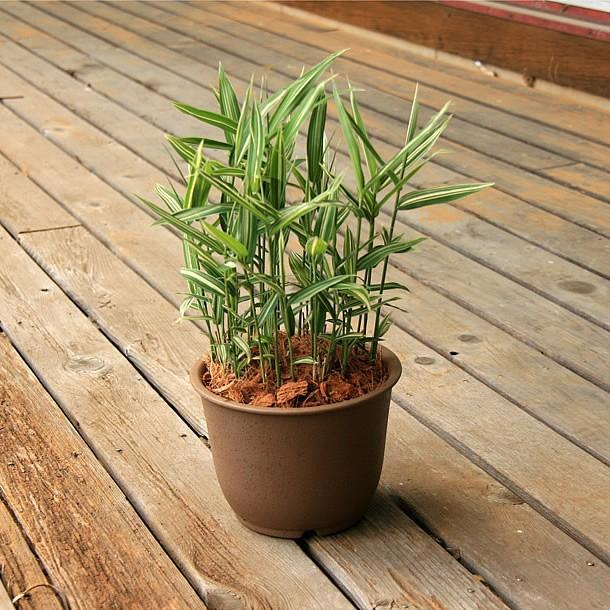 チゴザサ(稚児笹)の鉢植え|takechan