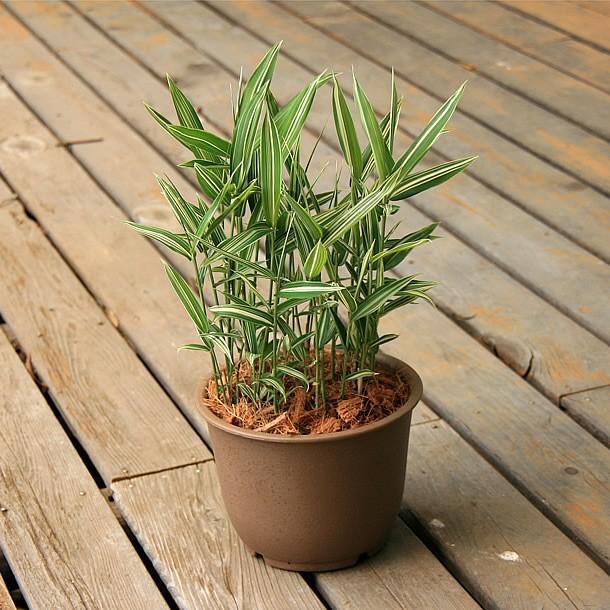 チゴザサ(稚児笹)の鉢植え|takechan|04