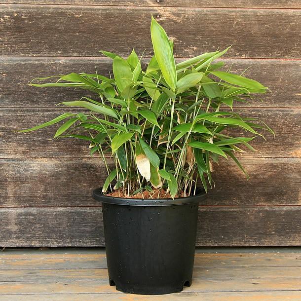 チマキザサ(粽笹)の鉢植え takechan 02