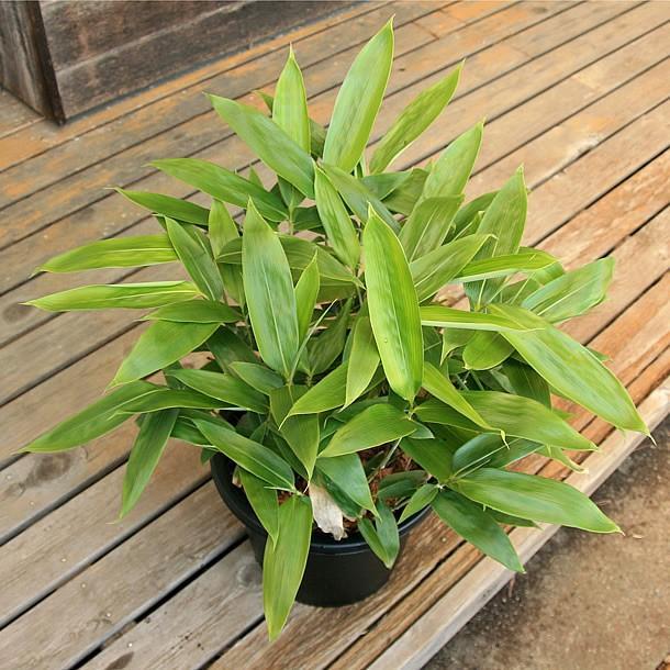 チマキザサ(粽笹)の鉢植え takechan 03
