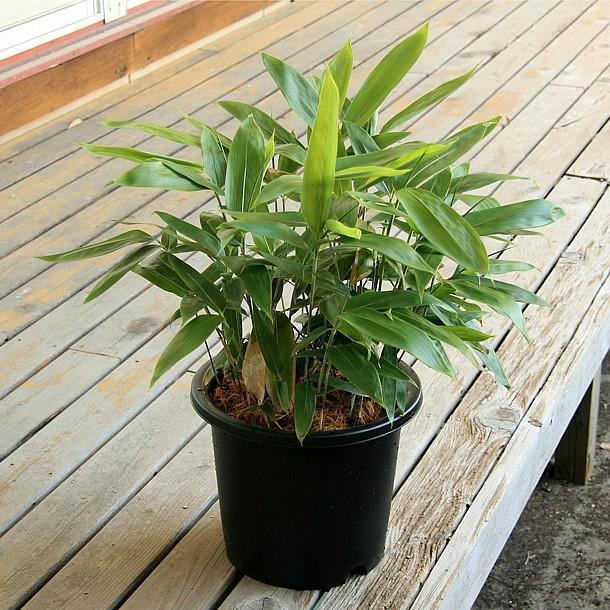 チマキザサ(粽笹)の鉢植え takechan 04