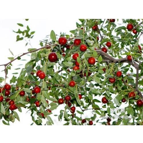 ひと粒、ひと粒、選び抜いた乾燥ナツメ(大紅棗)果実 木の実 上品な棗 ナツメ なつめ ドライフルーツ高品質な紅棗500g(約100〜110粒)|takouya|08