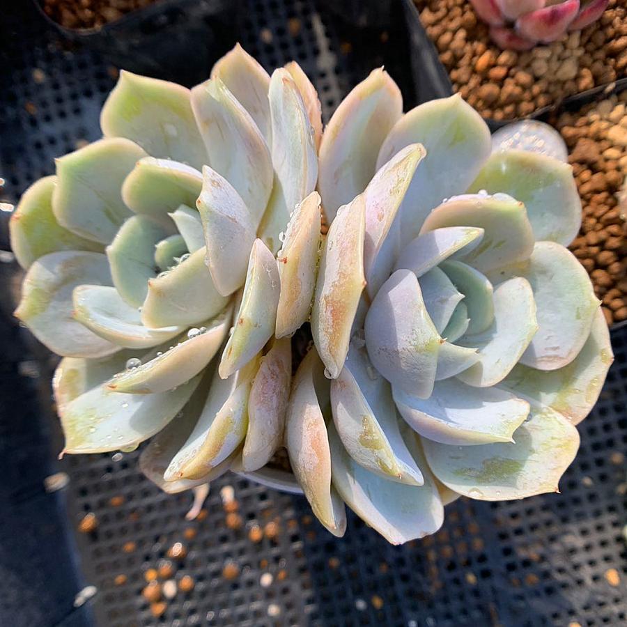 農園直売 多肉植物 寄せ植え 受注生産品 エケベリア属 ブルーサプライズ 2頭 抜き苗 ついに再販開始 インテリア 観葉植物