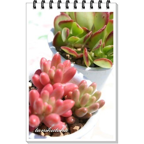 オーロラ 販売期間 限定のお得なタイムセール 2頭2寸ポット SALE ピンク色 セダム 弁慶草科 多肉激安 セダム苗 可愛い多肉植物 根付苗 多肉植物