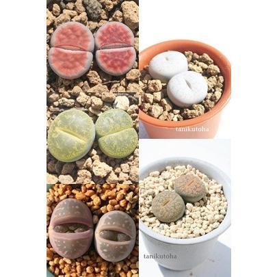 低価格化 リトープスセット5種 大幅値下げランキング 多肉植物のセット メセン通販 ジュエリーストーン