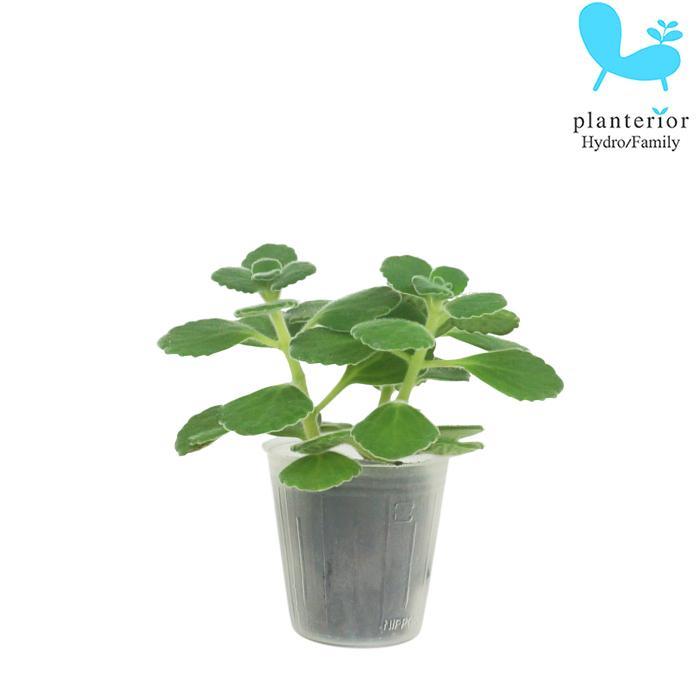 観葉植物 ハイドロカルチャー 安い 信憑 苗 アロマティカス プチサイズ キューバ オレガノ 1寸