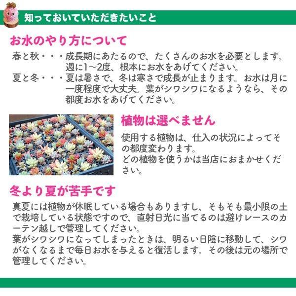 多肉植物苔玉「かっぱんだ☆モスリン」セット/無料ギフトラッピングOK|tawawa|03