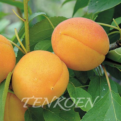 あんず杏 おひさまコット 苗木 裸苗【株式会社 天香園】|tenkoen