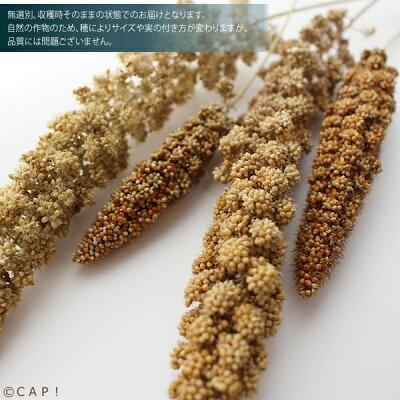 【熊本県産】有機JAS認定品 粟の穂 50g 2020年産 ※ろのわ赤ラベル※ torimura 06