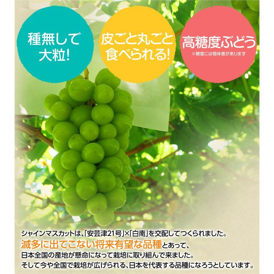 『シャインマスカット』 山梨県産 2房 計約800g ※常温または冷蔵 送料無料 tsukijiichiba 07