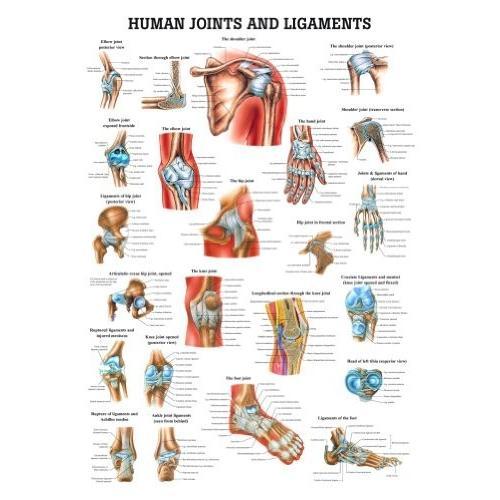 ジョイントと靭帯ラミネート解剖学チャート