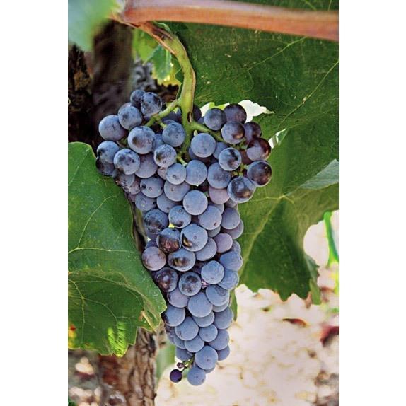 カリ・リーザ[2015]キリ・ヤーニ 赤 750ml Kir-Yianni[Kali Riza]ギリシャ 赤ワイン|unibiswine|06