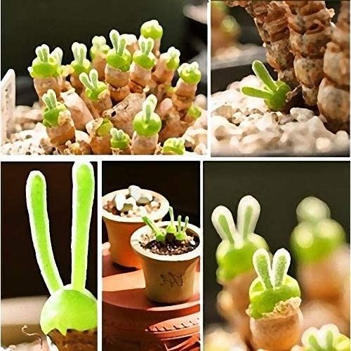 うさ耳モニラリア 栽培キット 種子10粒 可愛い箱に全部入り。 Monilaria cactus|unicorn802|03