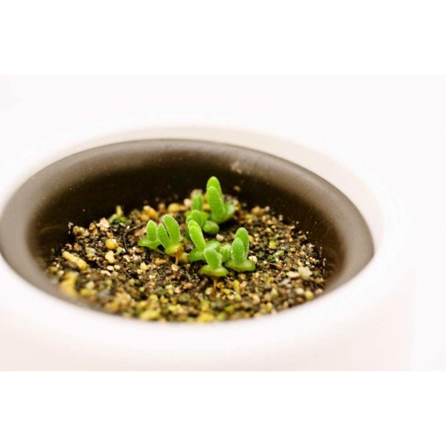 うさ耳モニラリア 栽培キット 種子10粒 可愛い箱に全部入り。 Monilaria cactus|unicorn802|05