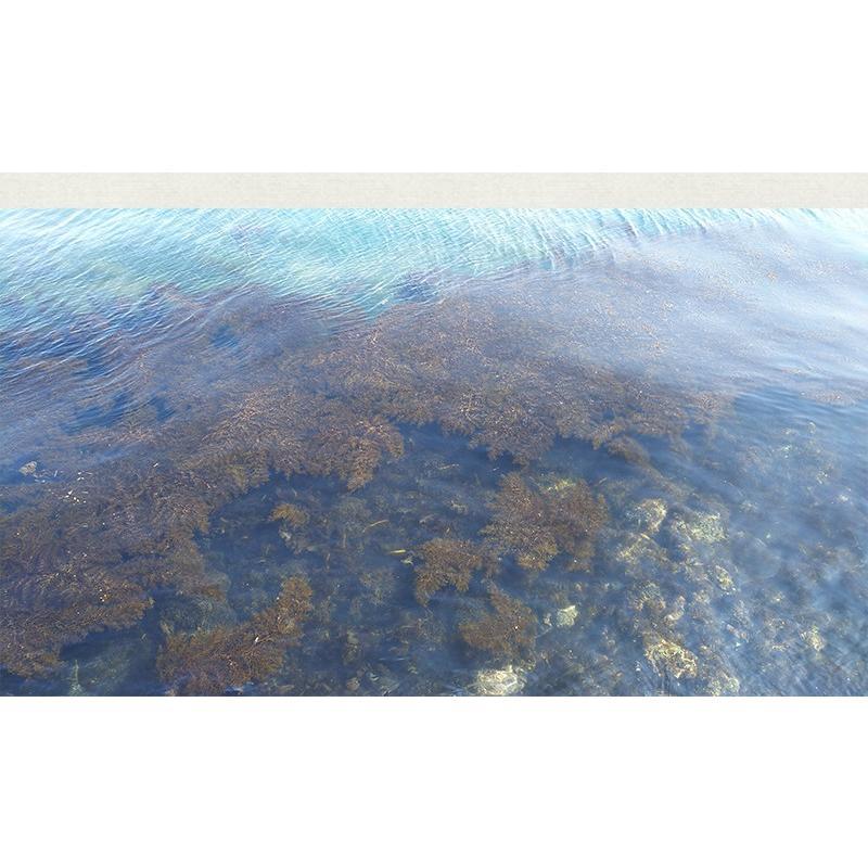 金華山沖 アカモク 100g 10セット 冷凍 送料無料 海藻 あかもく ギバサ ぎばさ 免疫力アップ スーパーフード 無添加 無着色 保存料・化学調味料不使用 ギフト|uosou|05