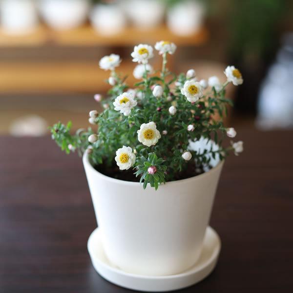 白い陶器の植木鉢 / すり鉢タイプ utyu 02