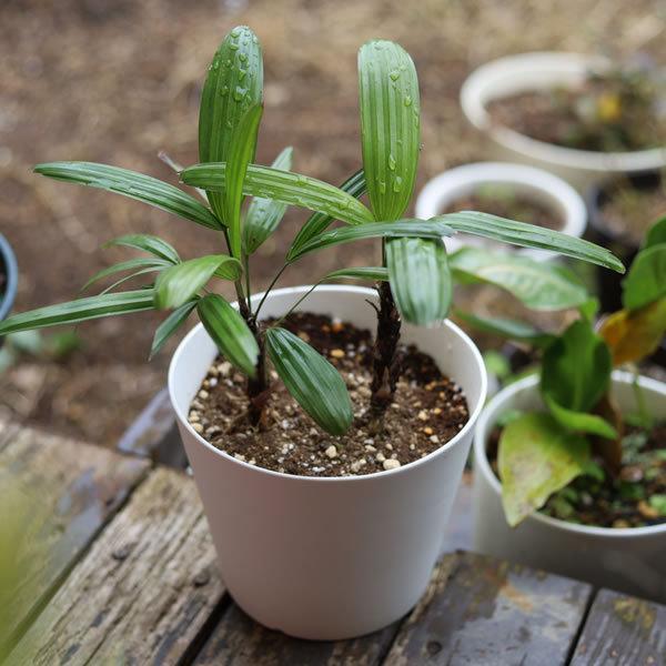 白い陶器の植木鉢 / すり鉢タイプ utyu 11
