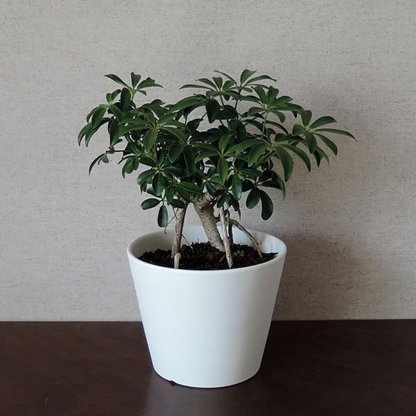 白い陶器の植木鉢 / すり鉢タイプ utyu 12