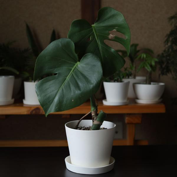 白い陶器の植木鉢 / すり鉢タイプ utyu 04