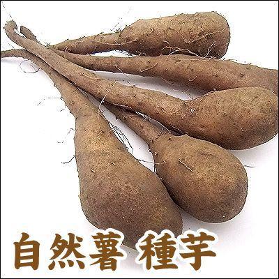 野菜・種/苗 自然薯/改良短形自然薯(ヤマイモ)・生もの種 5本入/1袋【2月下旬頃発送】 vg-harada