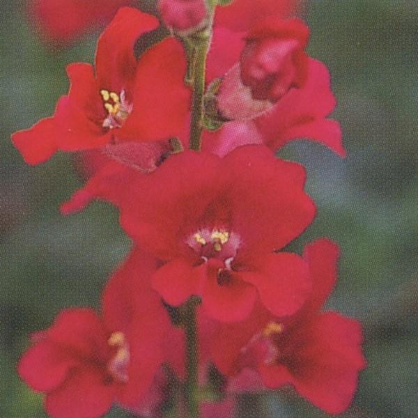花の種(営利用)金魚草 高性ペンステモン咲き種 F1力リヨン パープル 1ml×10 タキイ種苗