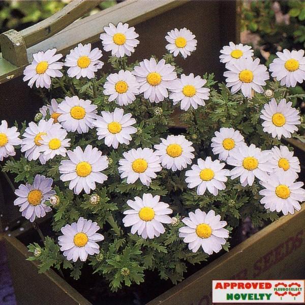 花の種(営利用)クリサンセマム パルドサム スノーランド 1dl タキイ種苗