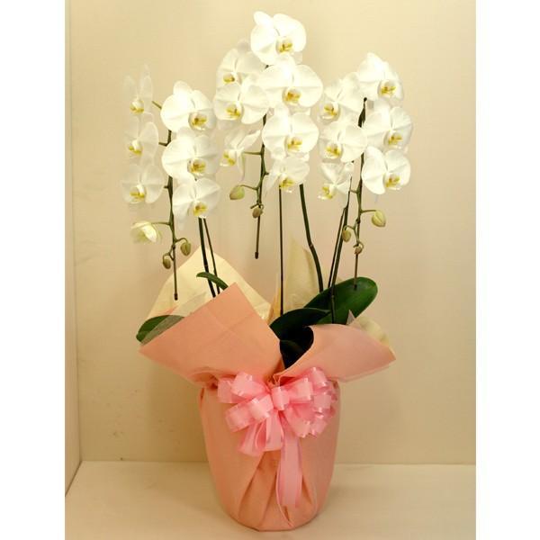 胡蝶蘭 大輪3本立ち 27輪以上 白色系 ギフト お花 お祝い 御祝 開店 開業 移転 就任 洋蘭 屋内 母の日 プレゼント 特産品 名物商品 ホワイトデー おすすめ