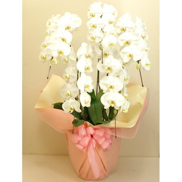 胡蝶蘭 大輪5本立ち 50輪以上 白色系 ギフト お花 お祝い 御祝 開店 開業 移転 就任 洋蘭 屋内 母の日 プレゼント 特産品 名物商品 ホワイトデー おすすめ