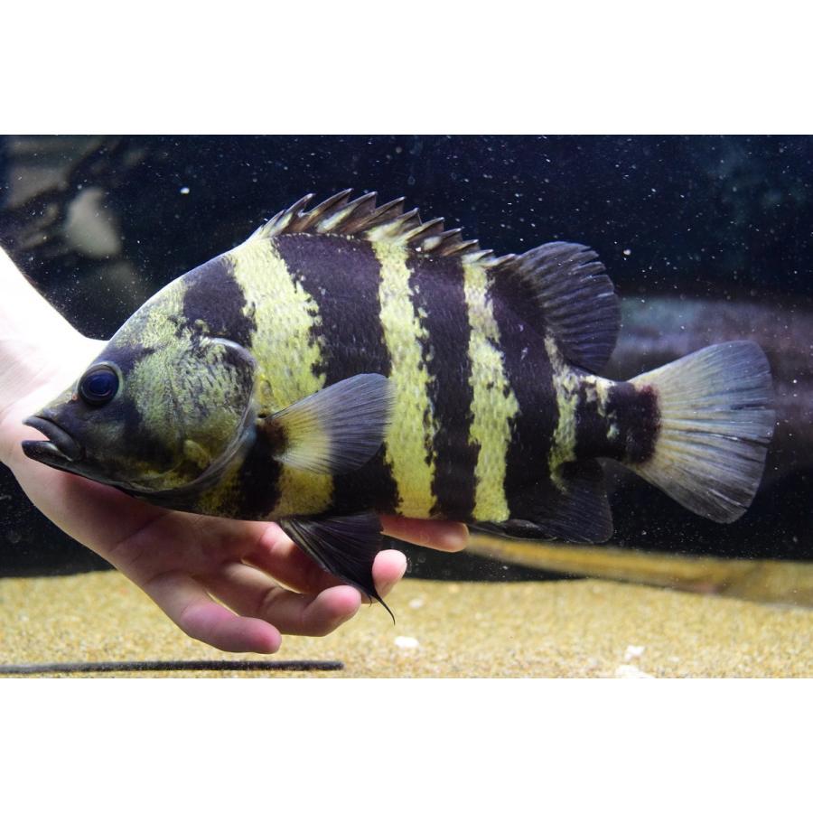 ダトニオ ニューギニア ダトニオの3種類と飼育方法!混泳や成長速度、餌は?