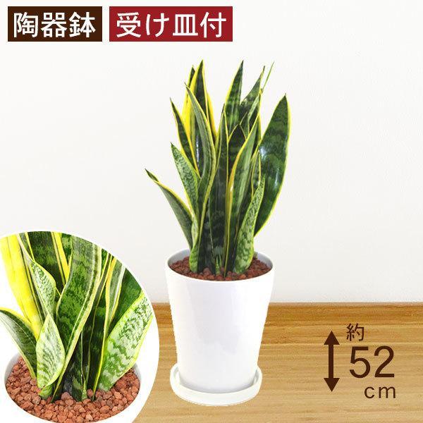 観葉植物 サンスベリア (サンセベリア) 高さ約52cm 陶器鉢ホワイト|worldgarden