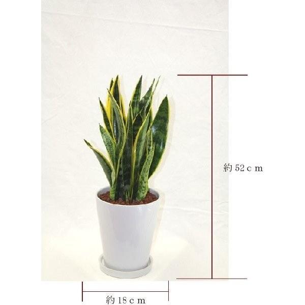観葉植物 サンスベリア (サンセベリア) 高さ約52cm 陶器鉢ホワイト|worldgarden|02